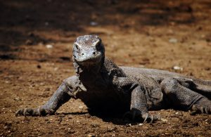 Komodo di Pulau Rinca Taman Nasional Komodo